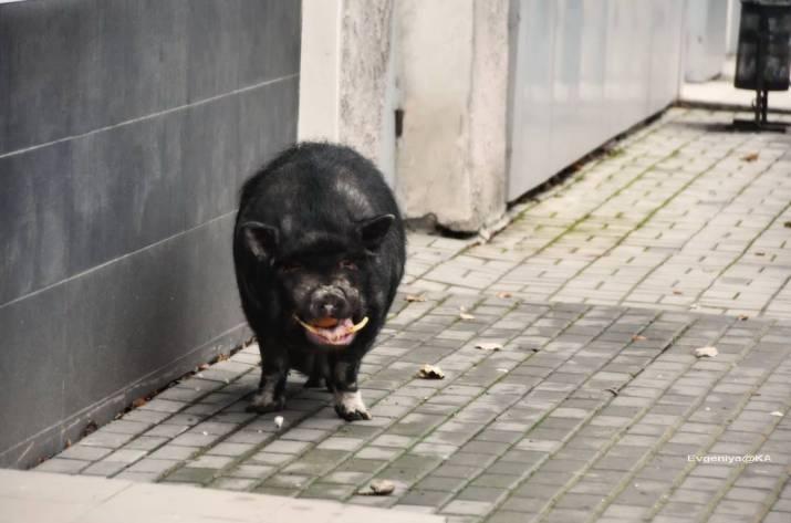 Жителів окупованого Донецька здивувала чорна свиня своєю появою в центрі міста