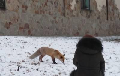 В центре Донецка бегает лиса (фото, видео)