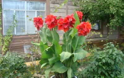 канны цветок