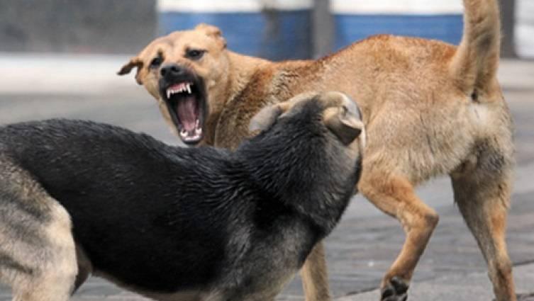 Бродячие псы дерутся